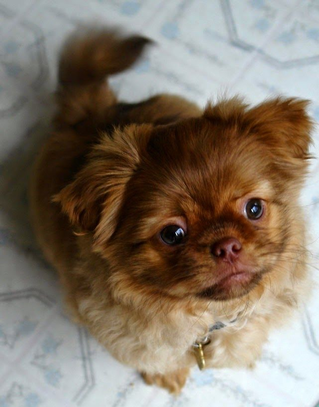 Tibetan Spaniel Hunde Foto Album Djur