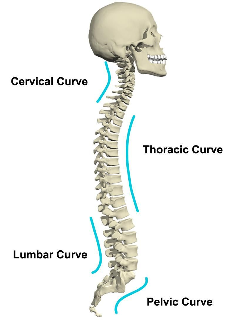 medium resolution of thoracic vertebrae pelvic tilt massage techniques anatomy and physiology chiropractic massage