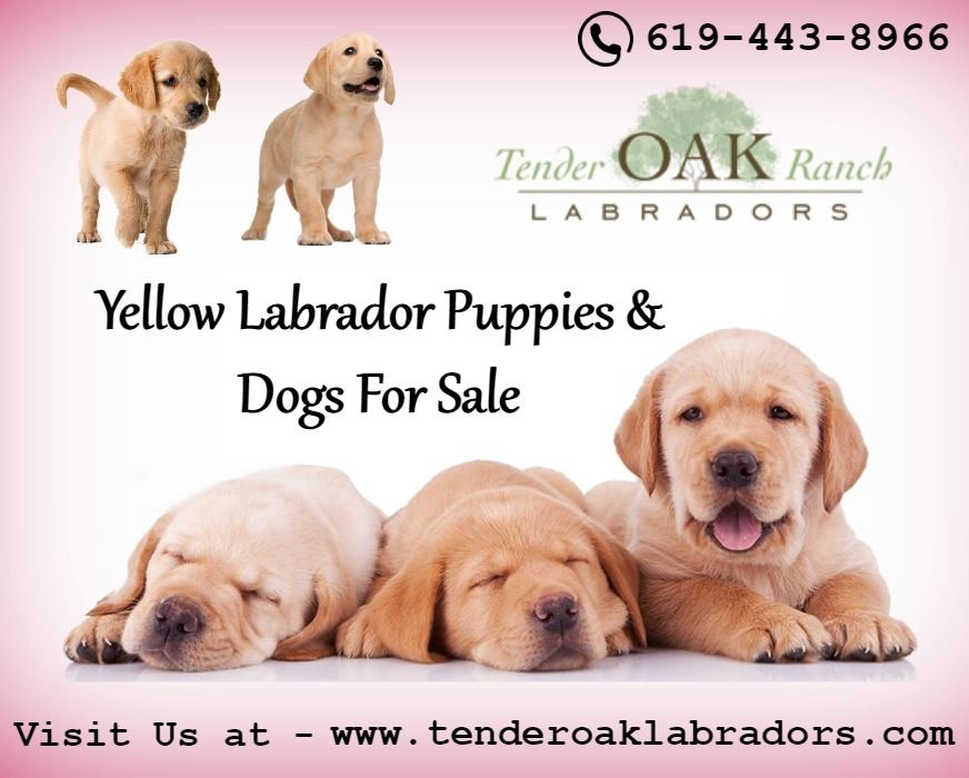 Yellow Labrador Puppies For Sale In San Diego Labrador Puppies For Sale Labrador Retriever Labrador