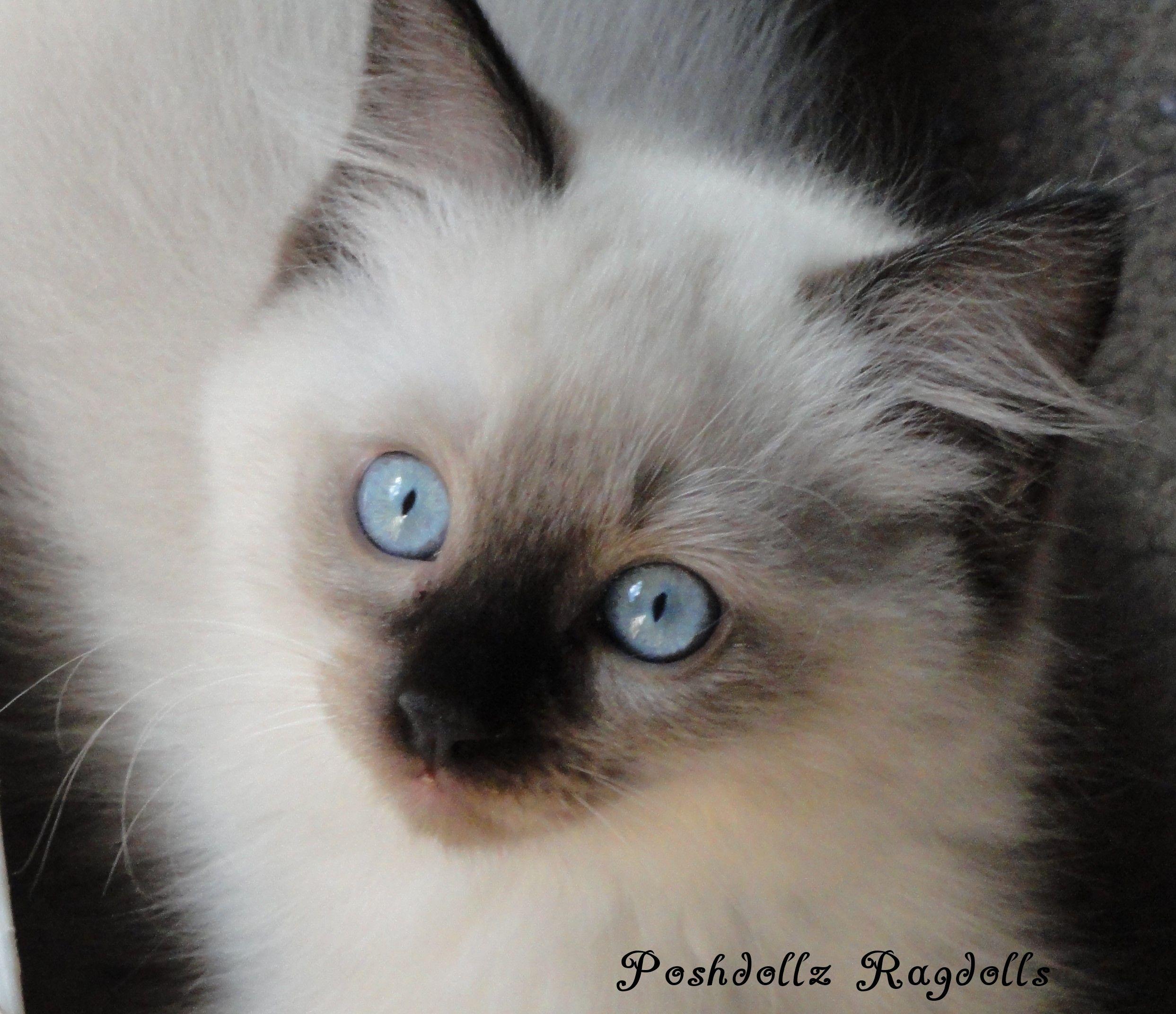 Seal Colorpoint Ragdoll Kitten