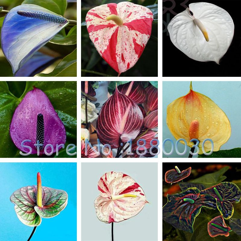 Bonsai Rare 24 Different Colors Japanese Garden Seeds Of New Varieties Of Anthurium Seed Potted Bonsai Diy Home Garden 12 Bonsai Diy Japanese Garden Anthurium