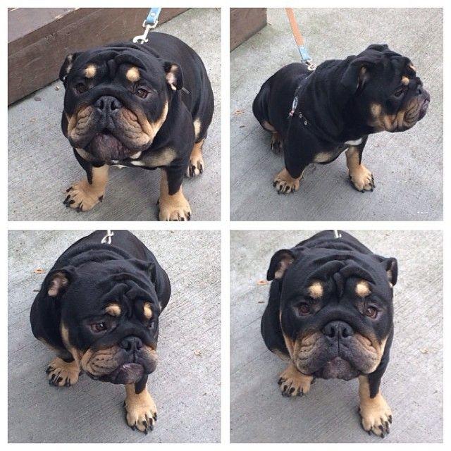 Introducing Mr Humpalot Bulldog Everybodythinksimarotty Padgram