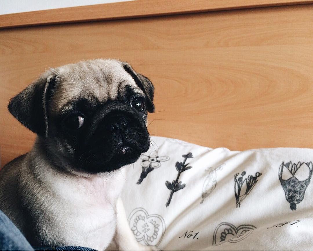 Pug Pugs Pugdog Puppy Pas Mops Mojpas Maxgremlin