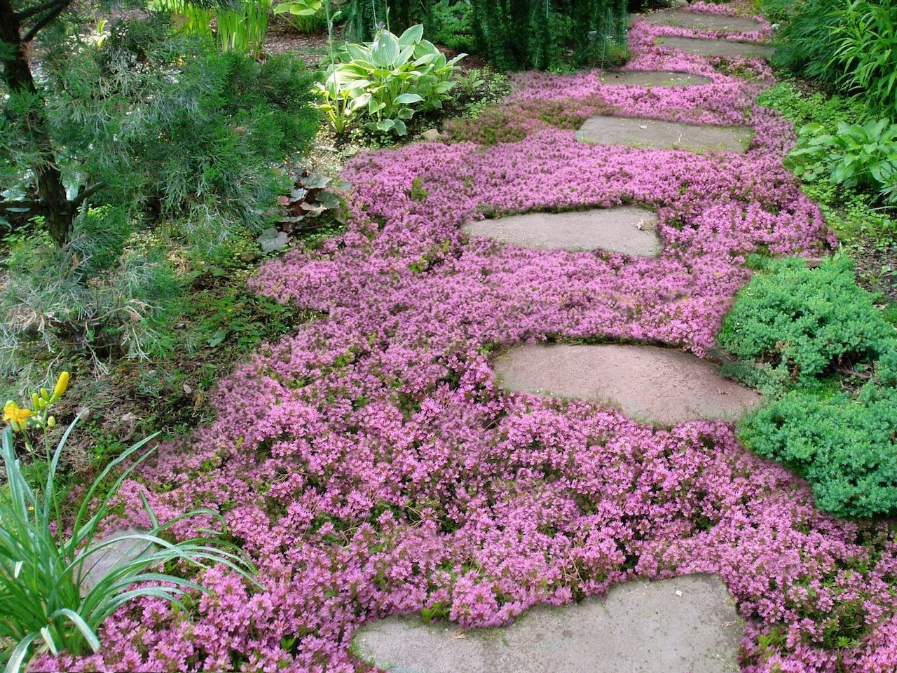 Live Mulch -- How to plant Sweet and Low flowering ground cover.