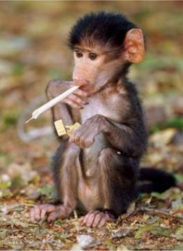 fun pictures | funny pictures monkeys smoking Funny Pictures