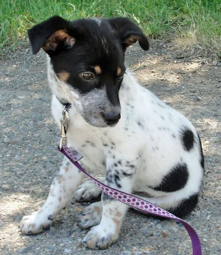 Cattle Dog Jack Russell Mix Google Search Cattle Dogs Mix