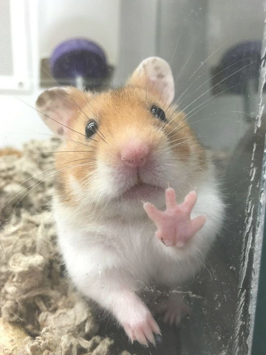 Dramatic Hamster Imgur Funny Hamsters Cute Hamsters Cute Funny Animals