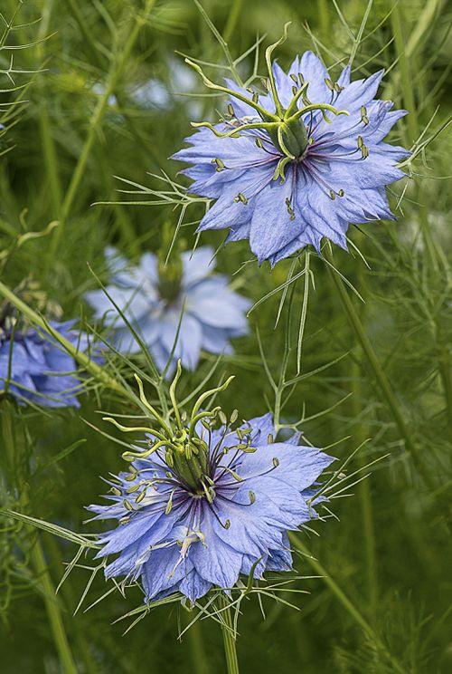 Love In A Mist Nigella Damascena Green Spring Gardens By Cindy Dyer Garden Muse Beautiful Flowers Flowers Love Flowers
