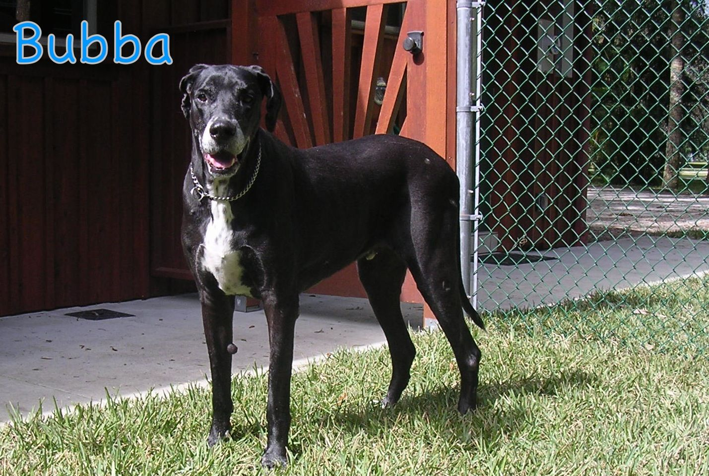 "Pin on ""Great Dane Love"" A Central Florida Great Dane Rescue"