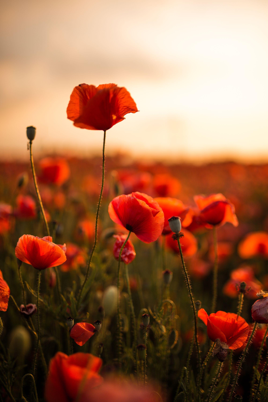 Feierabendsommerromantik Mit Mohnblumen Herzgedanke Mohnblume Mohn Blumen