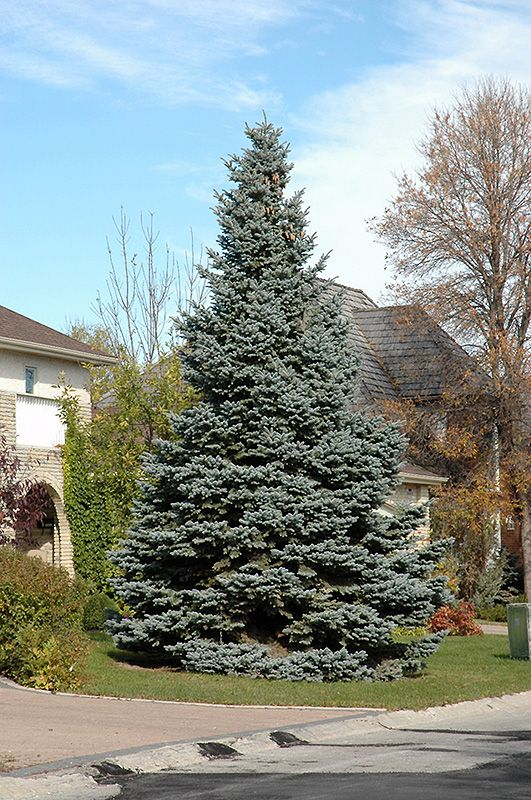 Baby Blue Colorado Blue Spruce Picea Pungens Baby Blue At Gertens Blue Spruce Tree Colorado Blue Spruce Picea Pungens