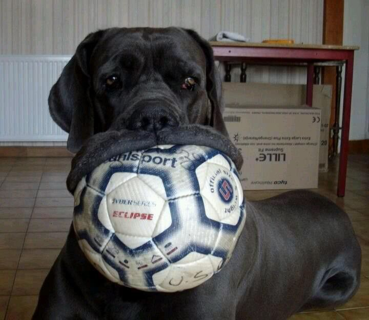 Mastiff and ball