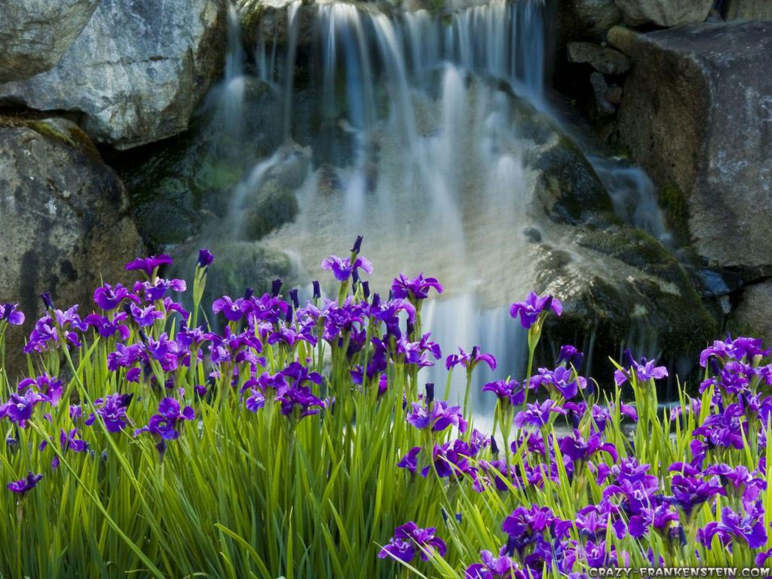 Field Of Purple Iris Flowers Near Waterfall