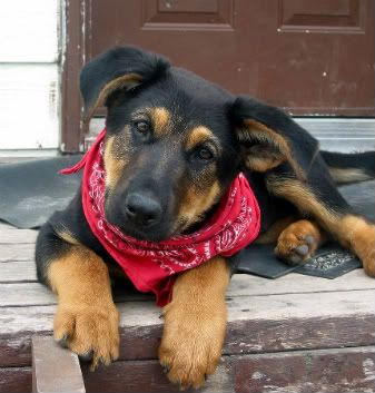 Huntaway Puppy Puppies Puppy Photos Cute Animals