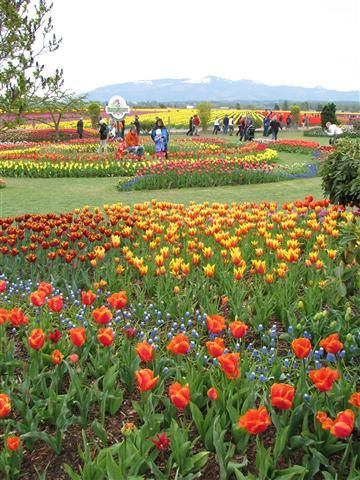 The gardens of Roozengaarde at the Skagit Valley Tulip Festival in ...