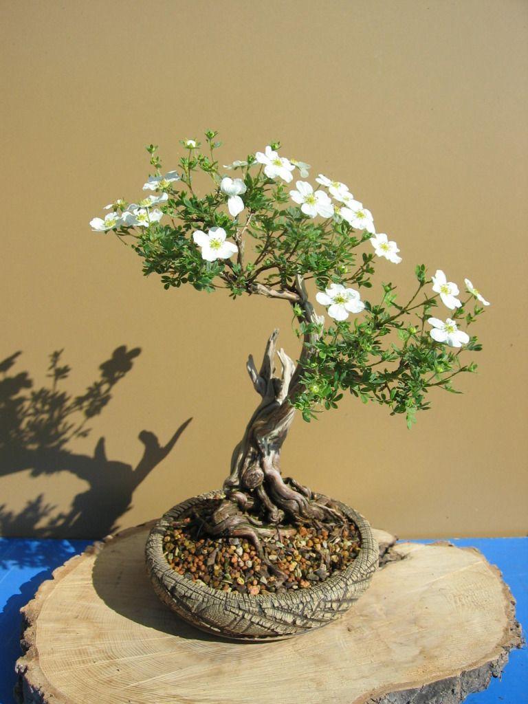 Potentilla Flowering Bonsai Tree Bonsai Tree Types Bonsai Art