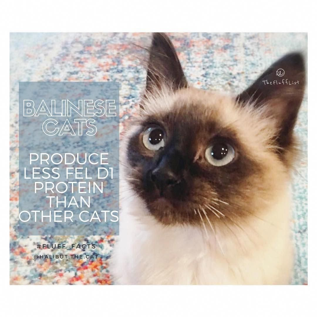 Allergictocats Siberiancatsforsale Siamese Cats Facts Balinese