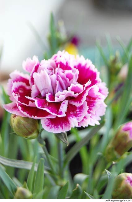Carnation Or Clove Pink Dianthus X Caryophyllus Pink Dianthus Carnations Beautiful Flowers