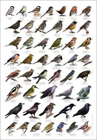 63a35f4cff6 Vogelbestimmung #Singvögel #Infografik #infographic Poster - Heimische Vögel
