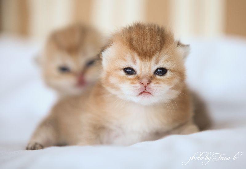 Exotic Shorthair Kittens Oregon