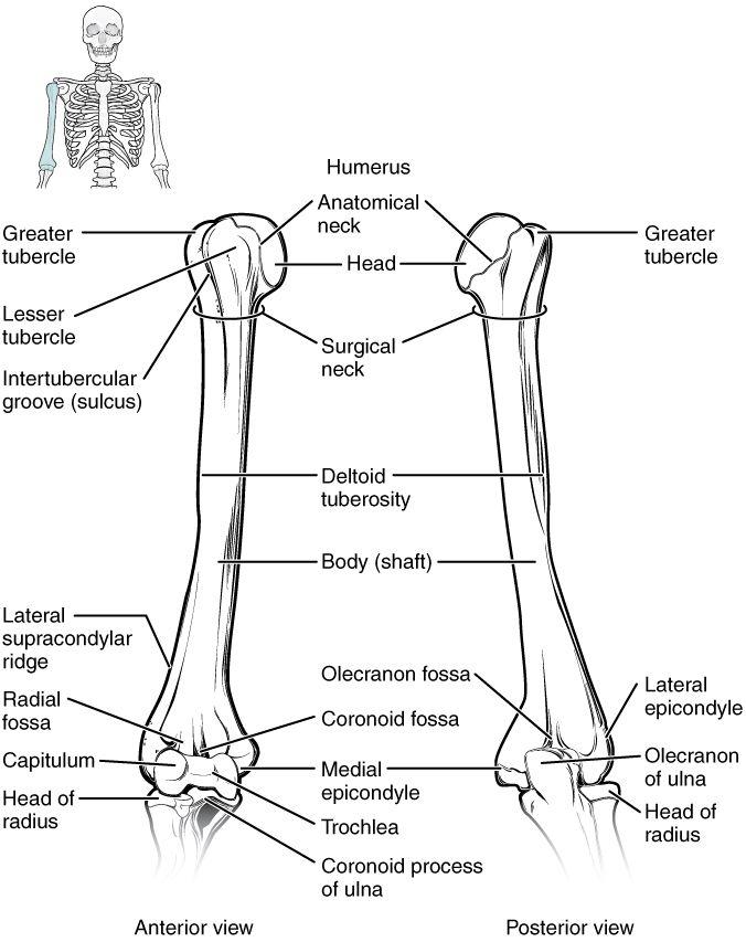 Résultats de recherche d\'images pour « anterior left arm bones ...