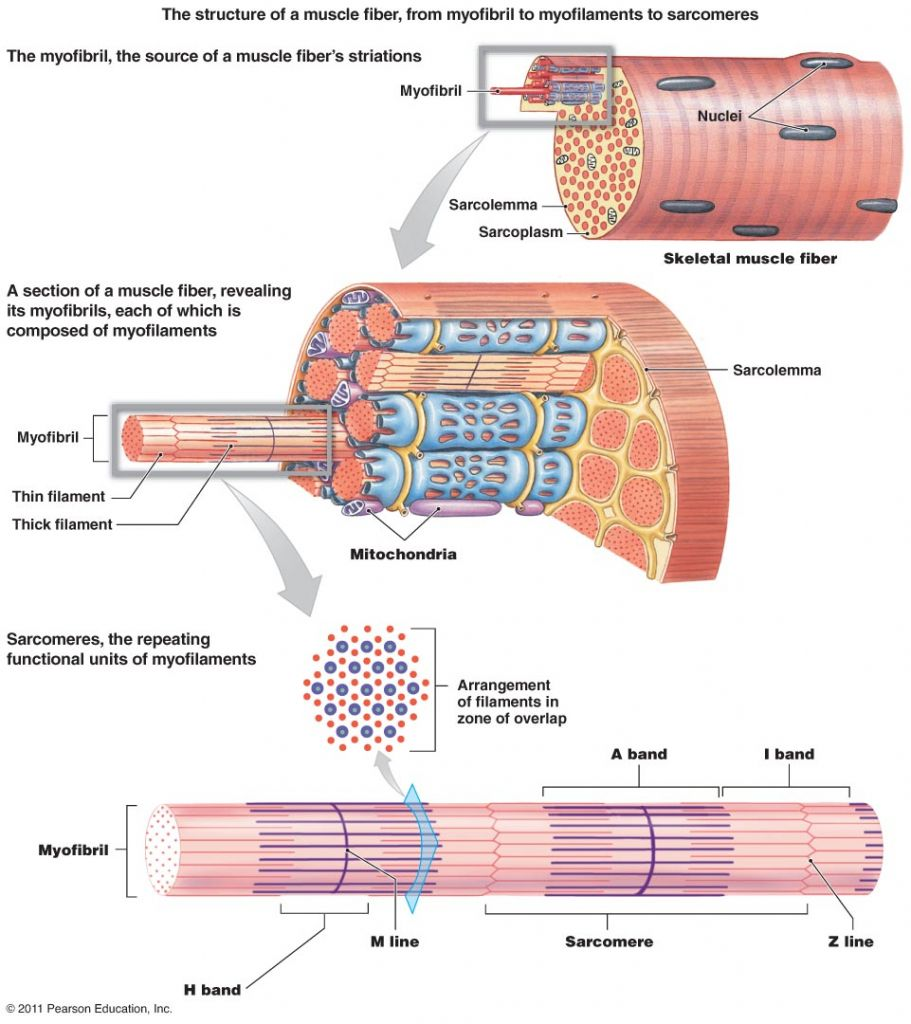 Gross Anatomy Of Skeletal Muscle The Muscular System Micro And Macro