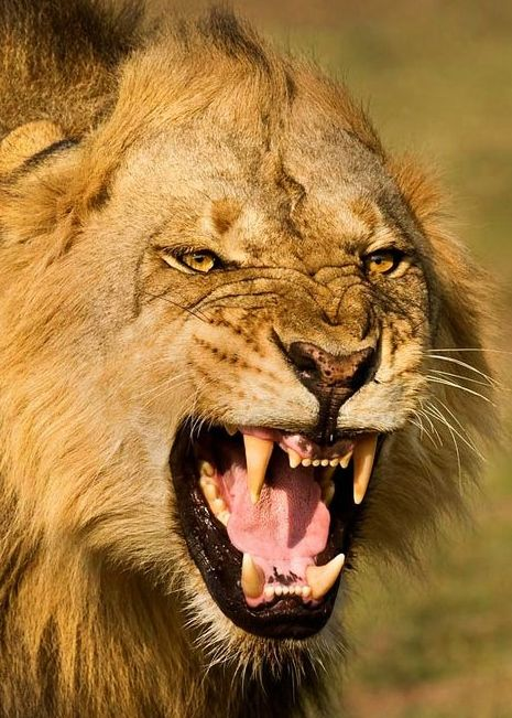 My Angry Lion Scary Cat South African Animals Animals Beautiful