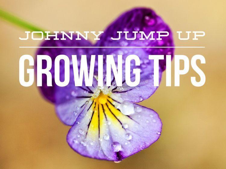 How to grow johnny jump ups johnny jump up johnny jump