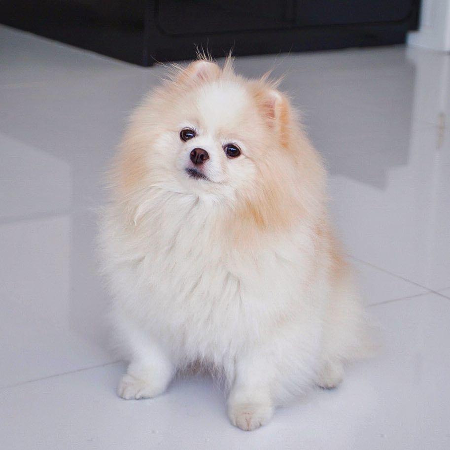 Boo Boo Awesome Dog Boo The Most Beautiful Dog Boo In