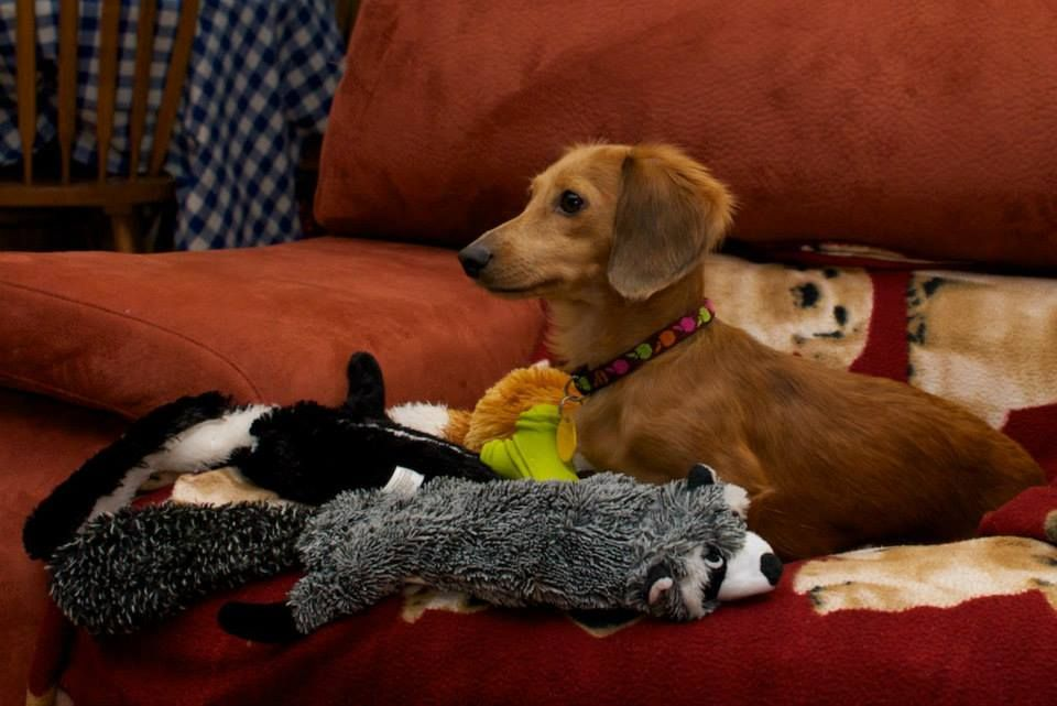 Just Me My Toys Via Canadian Dachshund Rescue Ontario