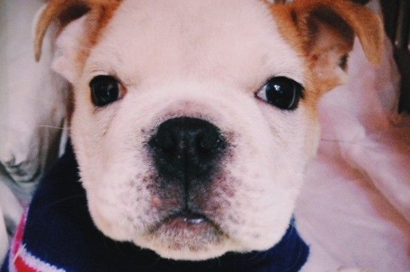 Chance The Special Needs Bulldog Puppy On Gofundme 8 275 Raised