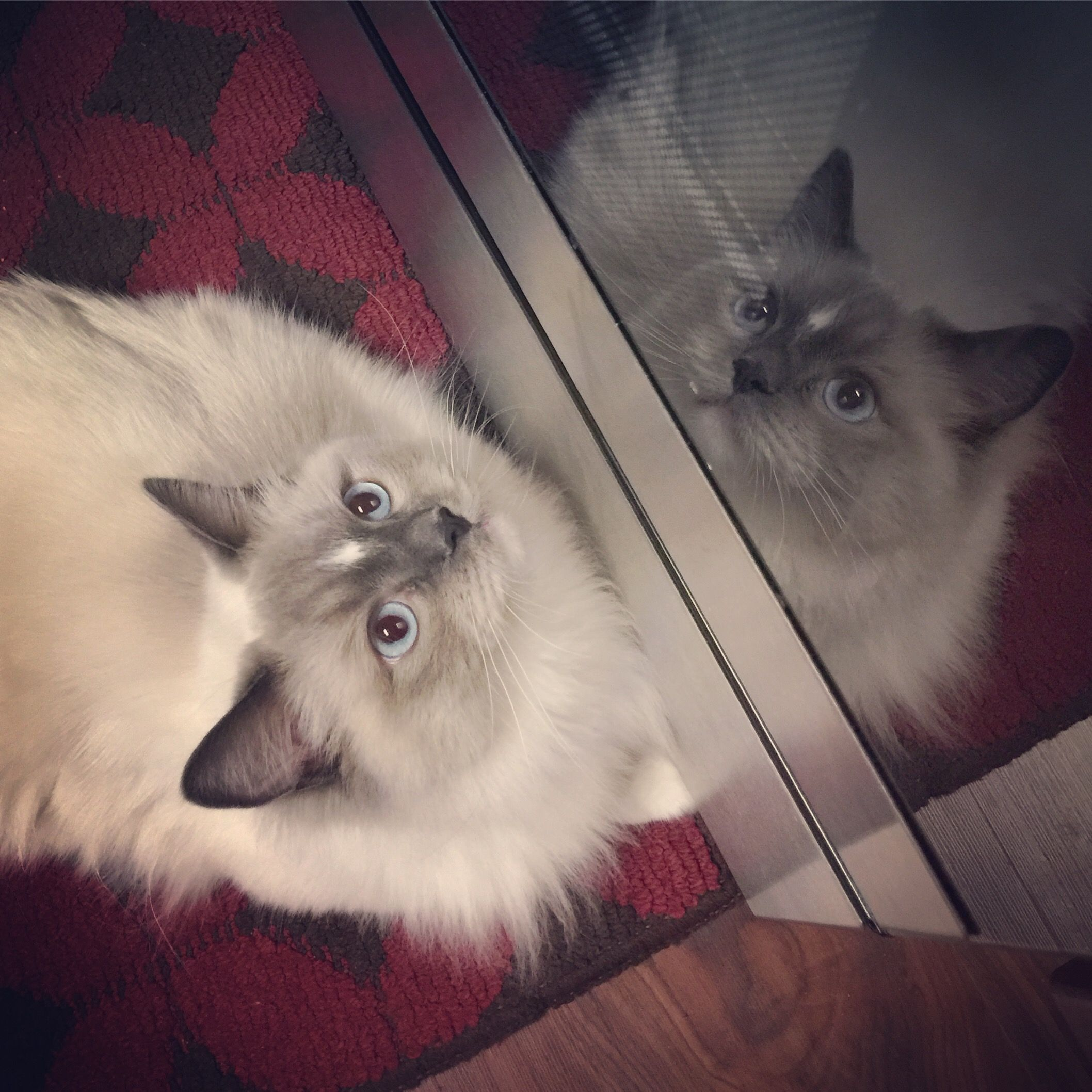 Armour Helping Me In The Kitchen Ragdoll Cat Ragdoll Cats