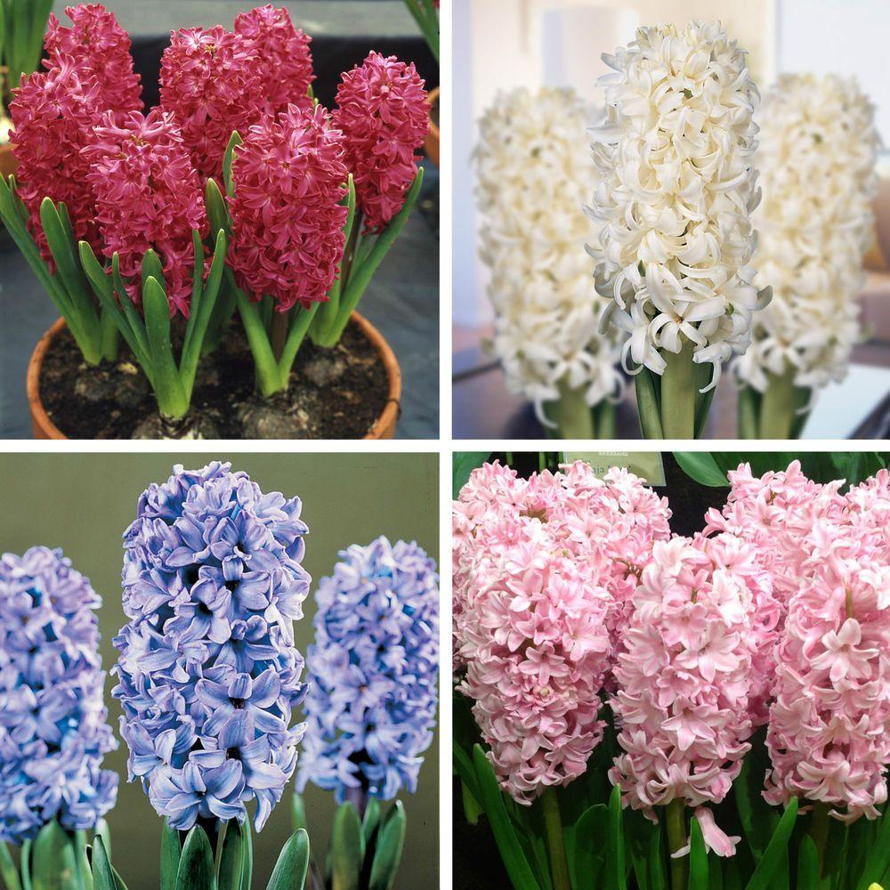 Prepared indoor hyacinth bulbs orientalis perennial flower bulbs chalk unbranded deciduous h4 10 to 5 c seeds bulbs ebay mightylinksfo