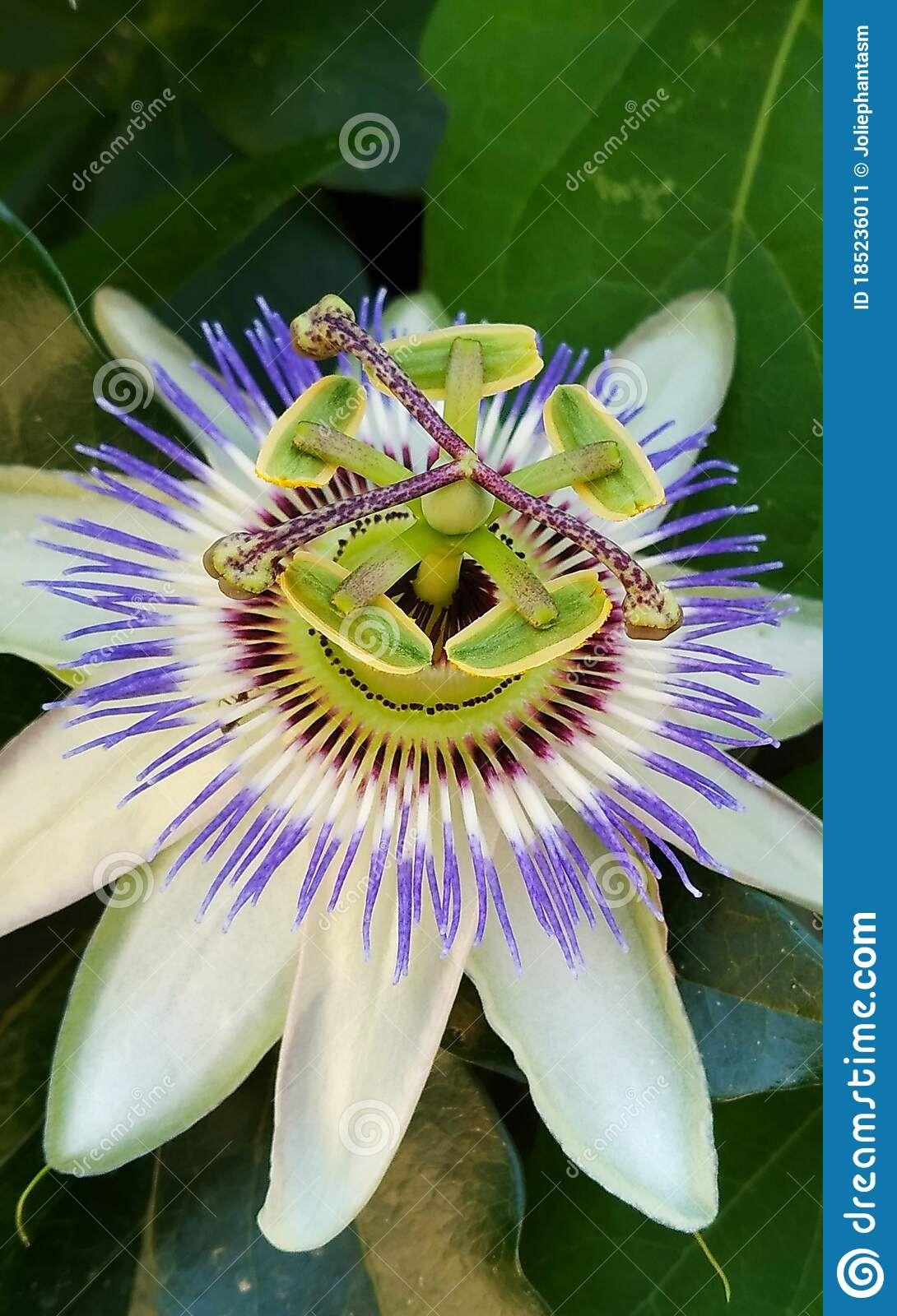 Pin By Lavinia Cucu On Flowers In 2020 Passiflora Caerulea Passiflora Flowers
