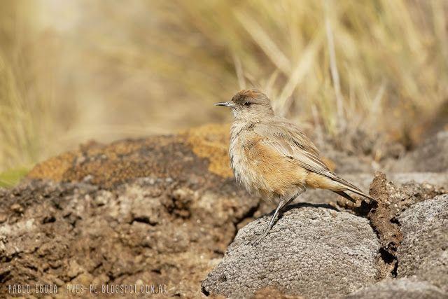 mis fotos de aves: Muscisaxicola capistratus Dormilona canela Cinnamo...