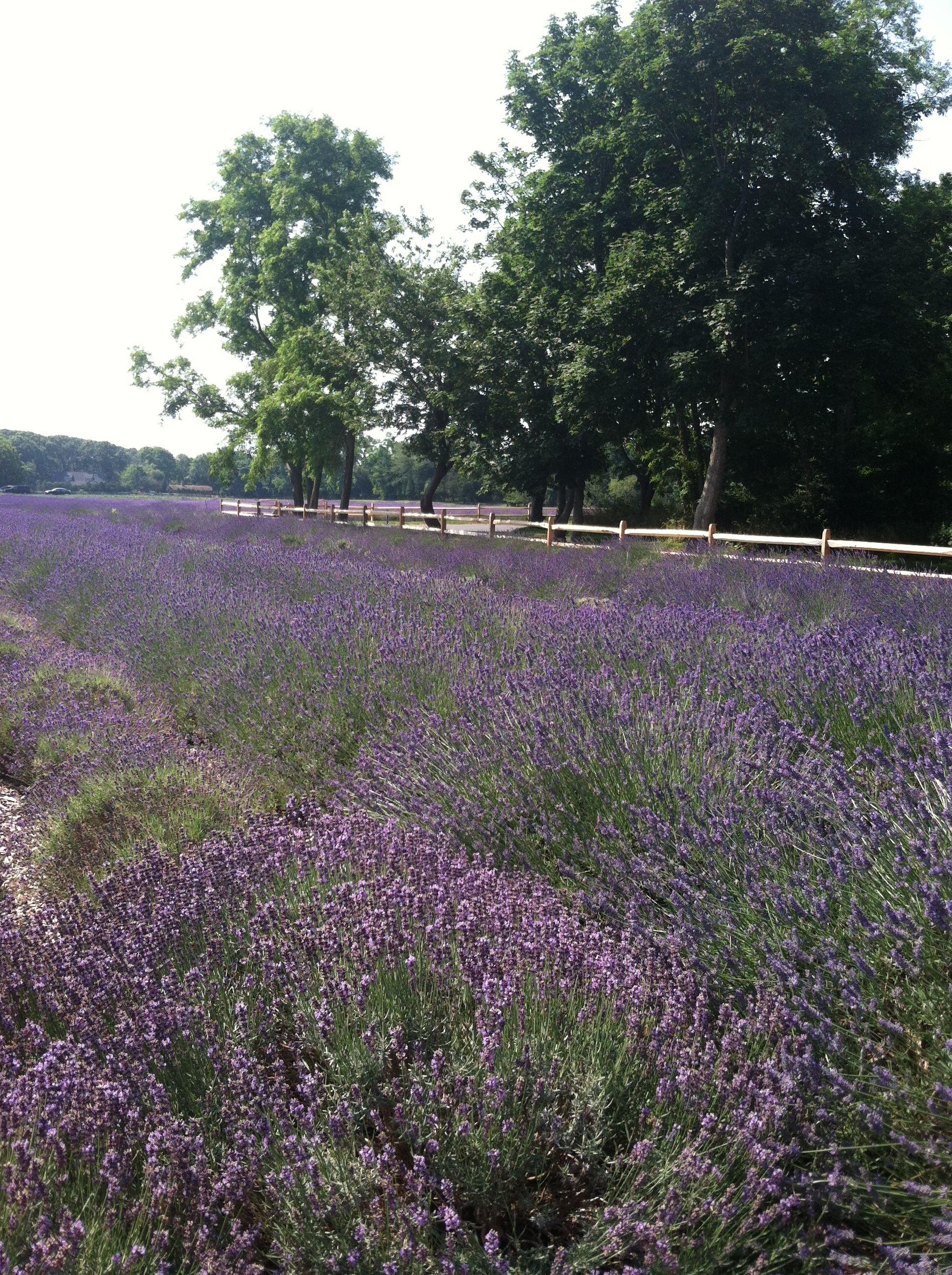Lavender Fields Long Island Ny