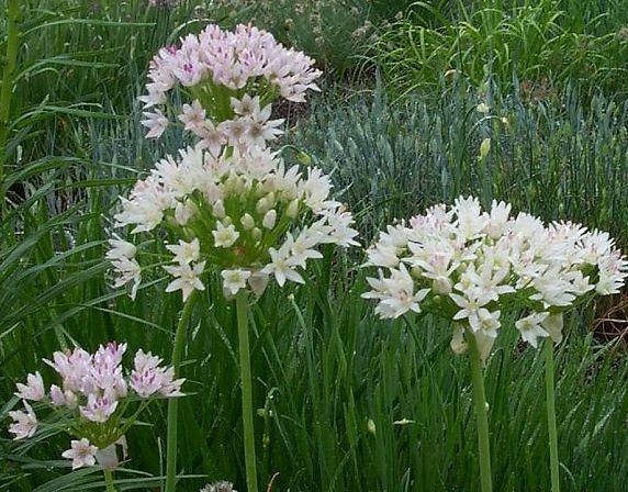 Allium Canadense Wild Onion Meadow Garlic Florida Native Perennial Dies Back During Summer And Fall Sun To Garlic Seeds Florida Native Plants Wild Onions