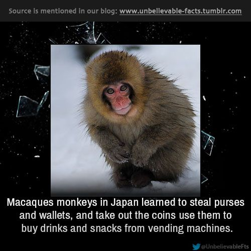Macaques monkeys in Japan learned to steal purses and ...