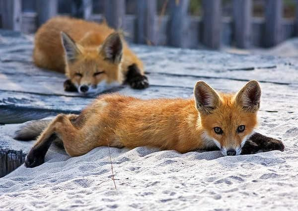 Sly Beautiful Foxes !