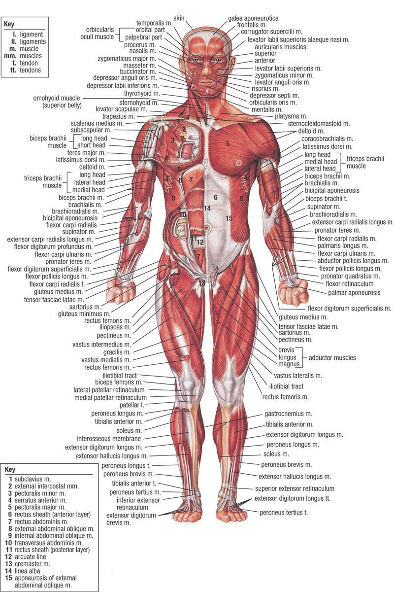 Types Of Muscles In The Body Biology Human Body Anatomy Human