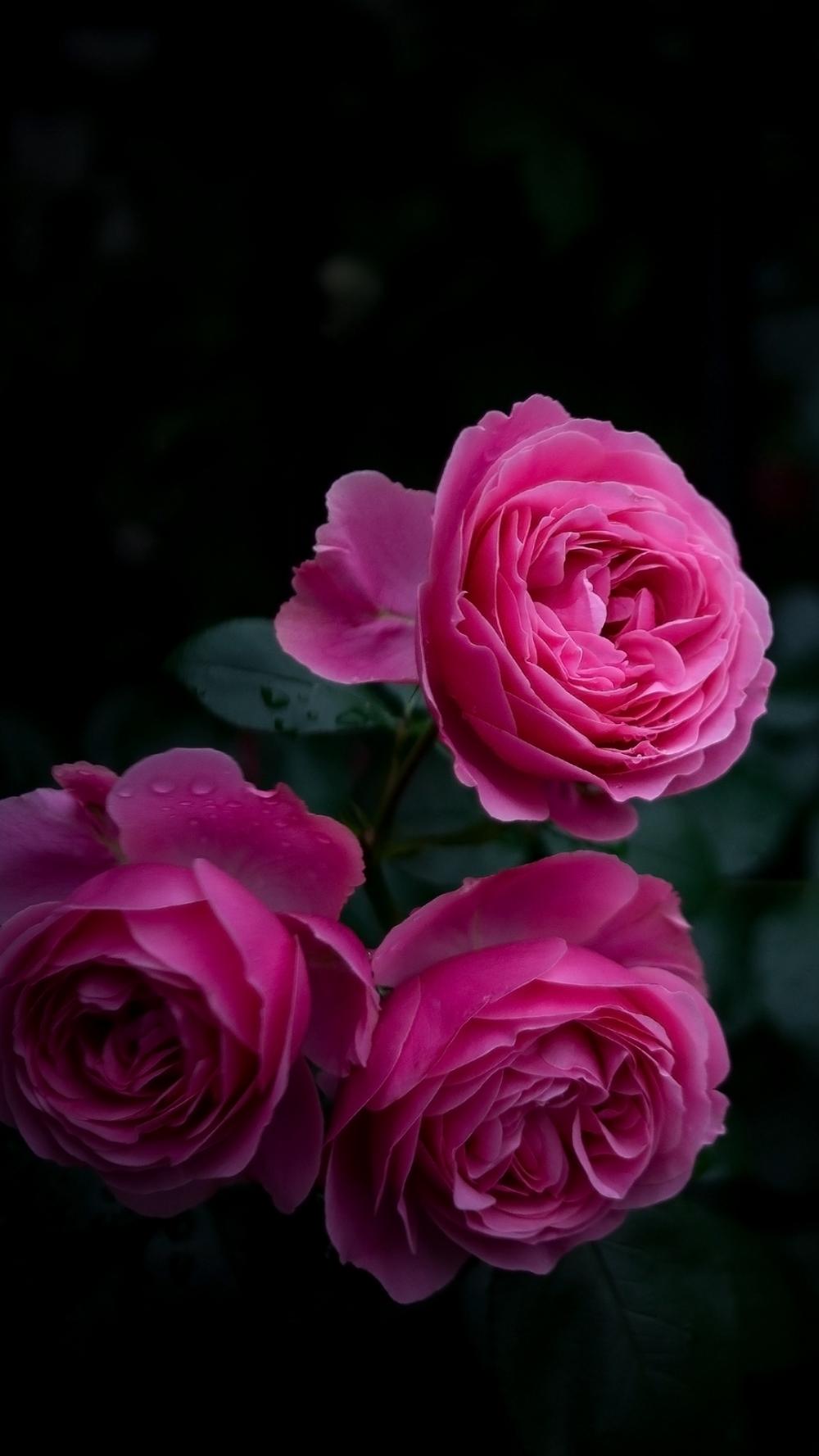 Download Wallpaper 1080x1920 Rose Buds Bush Garden Pink Samsung Galaxy S4 S5 Note So Rose Flower Wallpaper Flower Wallpaper Beautiful Flowers Wallpapers