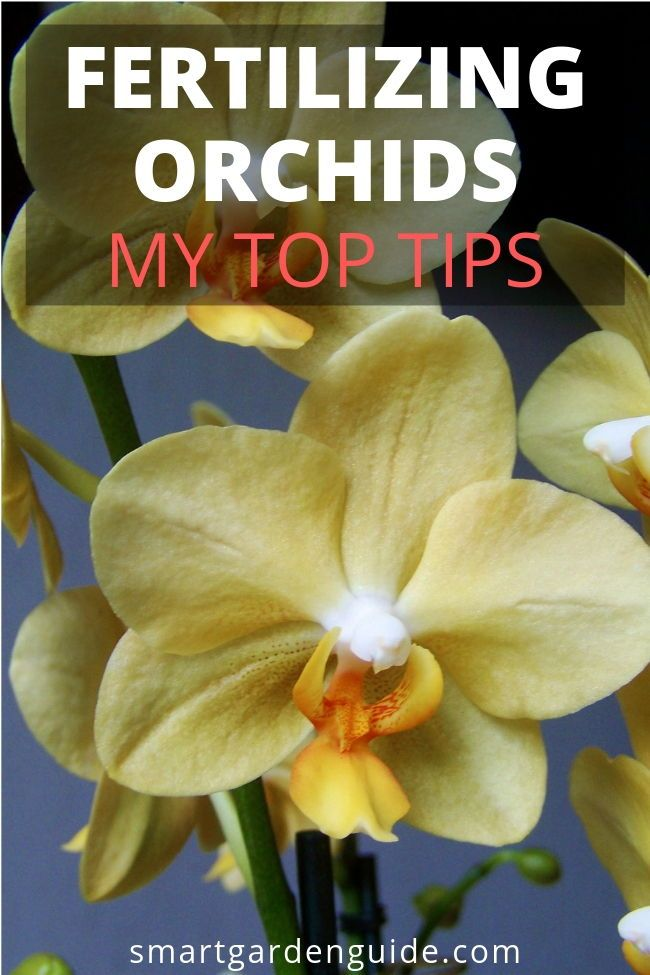 How to fertilize phalaenopsis orchids. A really important aspect of phalaenopsis orchid care is fertilizing them correctly. Being light feeders, it's so easy to do more harm than good, but fertilizing your orchids right can make the world of difference to these beautiful indoor plants. Learn everything you need to know at smartgardenguide.com #growingorchids