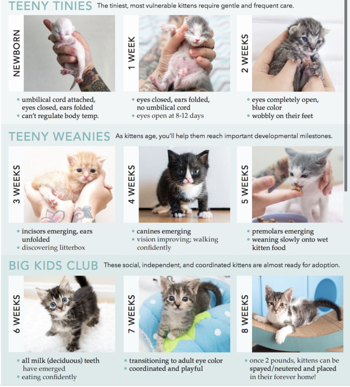 Kitten Age Chart In 2020 Newborn Kittens Kitten Age Chart Kitten Care