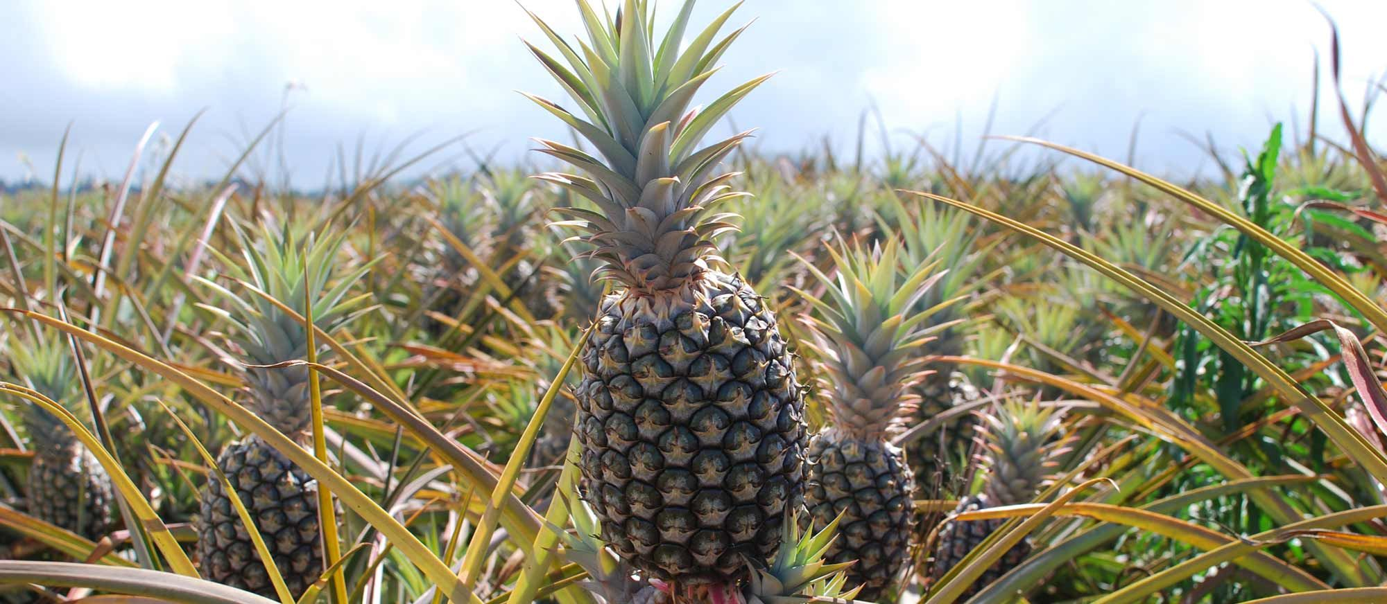Maui Pineapple Tour - Maui Pineapple Tours | One of the many fun family activities or things to do on Maui! Maui Tour | Tours In Maui