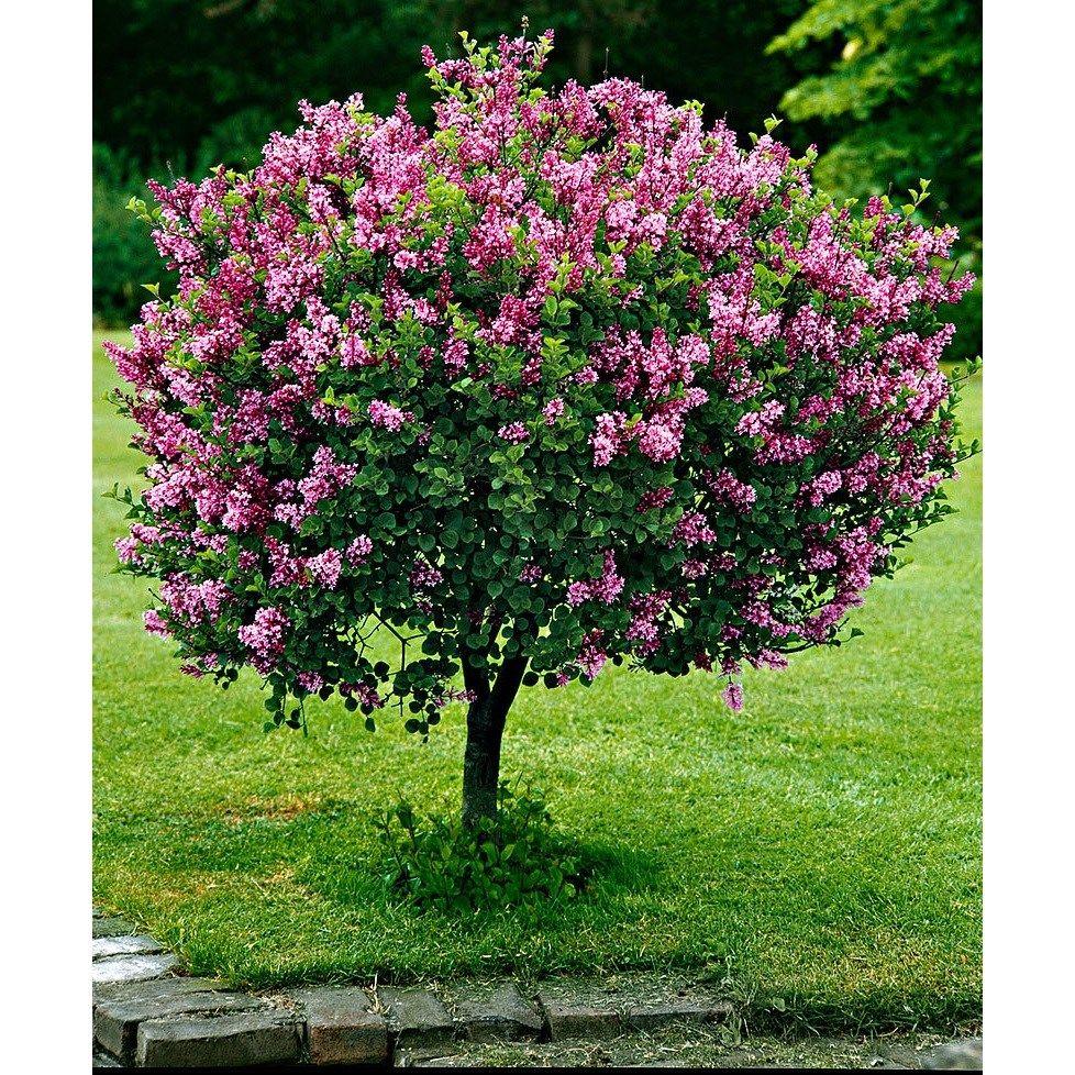 Meyeri sirel \'Palibin\' | ilupõõsad | Pinterest | Garden landscaping ...