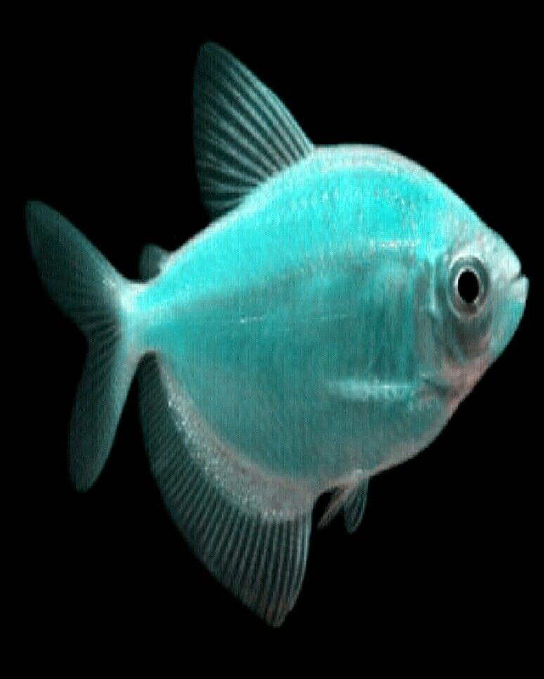 Blue Turquoise Glofish Tetra fish, Glofish, Pet fish