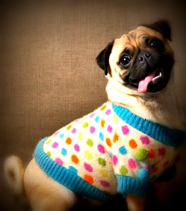 How Do You Like My Pokey Dots Aren T They Just Fabulous Pug Carlino Pug