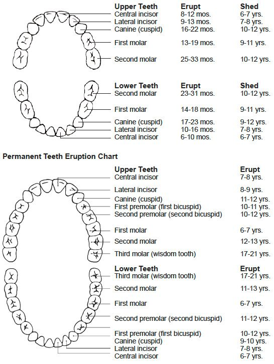 Baby And Adult Teeth Chart