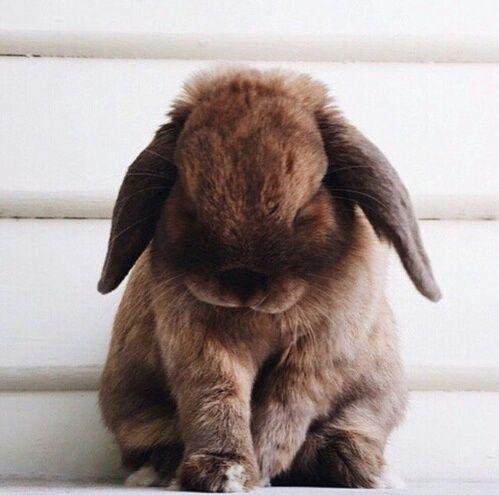 まるでぬいぐるみ たれ耳ウサギ ロップイヤー に癒やされて Sotaste Djuren Gulliga Djurungar Djurungar