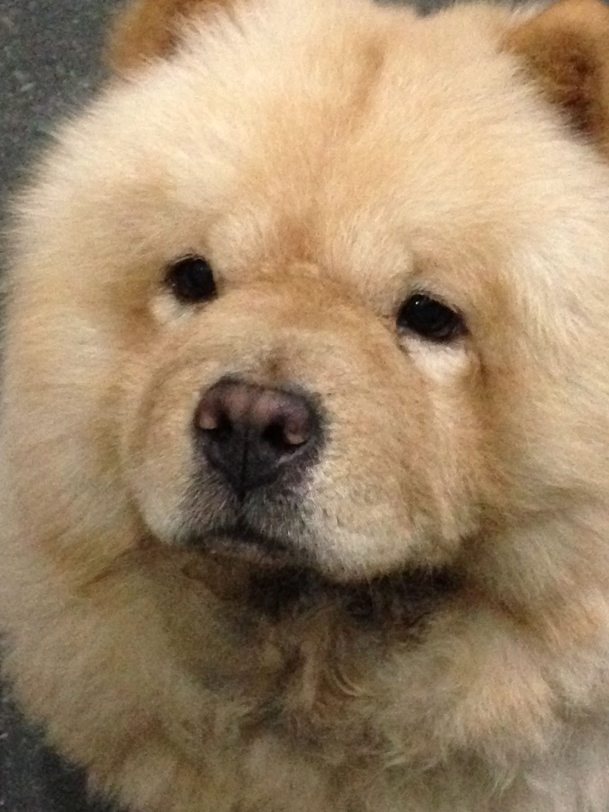 Boo The Dog Image By Nique Aja On Chowchow Chow Chow Dogs